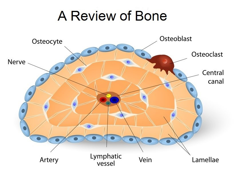 Bone Cells by Kenna Keeling on Prezi