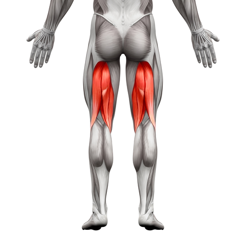 Hamstrings Tendons and ACL Surgery - Louisville Bones